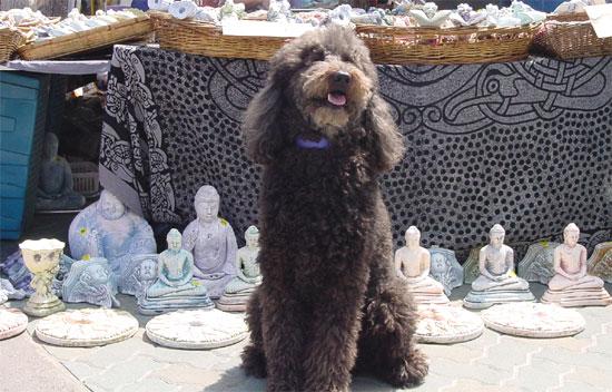 Poodle_buddhism2